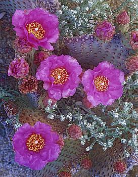 Tim Fitzharris - Beavertail Cactus Flowering North