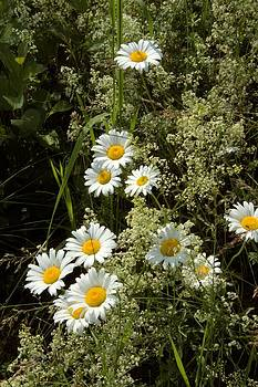 Valerie Kirkwood - Bedstraw and Daisies