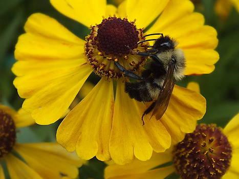 Bee and Black-eyed Susan by Gene Cyr