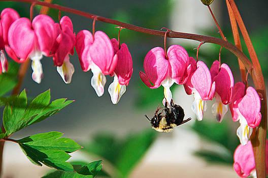 Bee and Bleeding Hearts by Sandy Scharmer