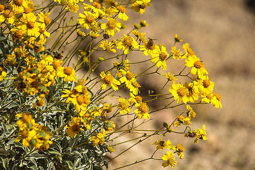 Bee and Brittlebush by Ryan Seek
