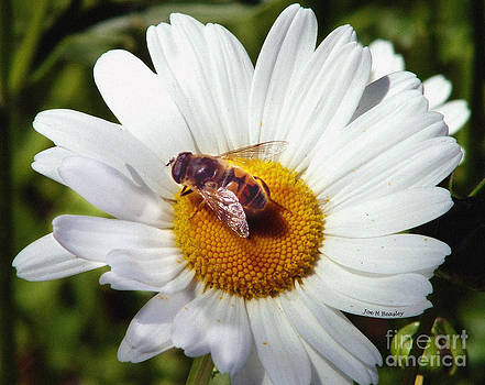 Bee and Daisy by   Joe Beasley
