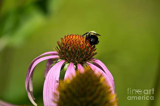 Ms Judi - Bee and Echinacea Flower