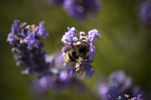 Bee and Lavendar by Martin Cooper