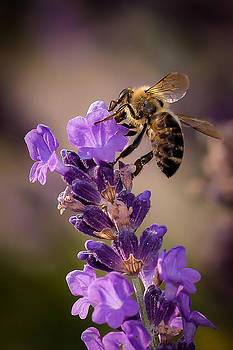 Honeybee Working Lavender by Len Romanick