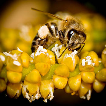 Bee Collecting Pollen by Jim DeLillo