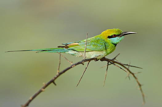Bee Eater by Bruce Colin
