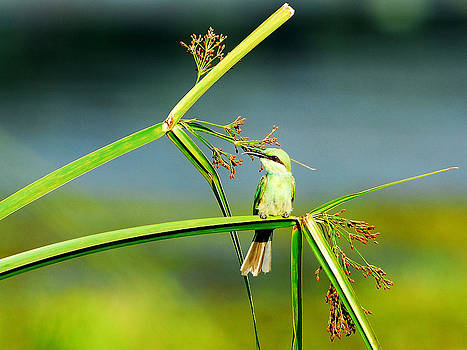 Bee eater by Partha Sen