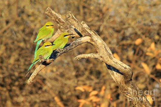 Hermanus A Alberts - Bee-eater Trio of Green