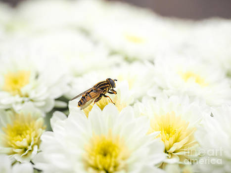 Bee gathering nectar while pollinating a pile of white flowers w by Arve Bettum