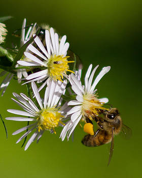 Bee Harvest by Frank Pietlock