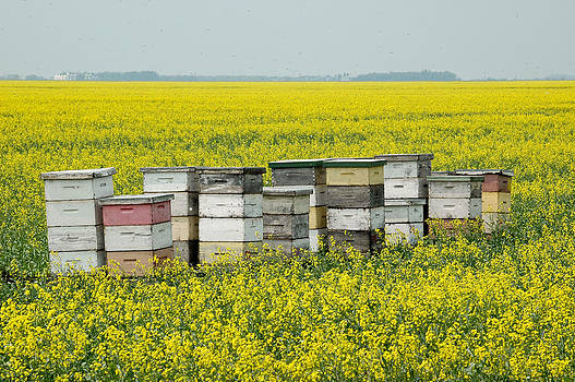 Bee hives in a canola field in southern Manitoba. by Rob Huntley