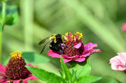 Bee in Bliss by David Earl Johnson