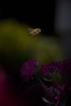 Bee in flight over flowers by Bailey and Huddleston