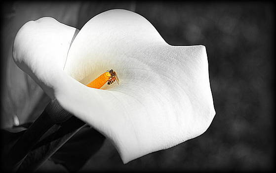 Bee in the Calla Flower by AJ  Schibig