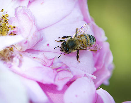 Bee on a Bed of Roses by Amy Jo Garner