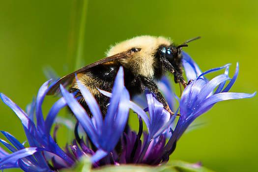 Matt Dobson - Bee On a Blue Flower