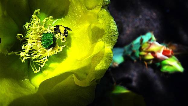 Bee on a Prickly Pear Cactus Bloom by Frederick R