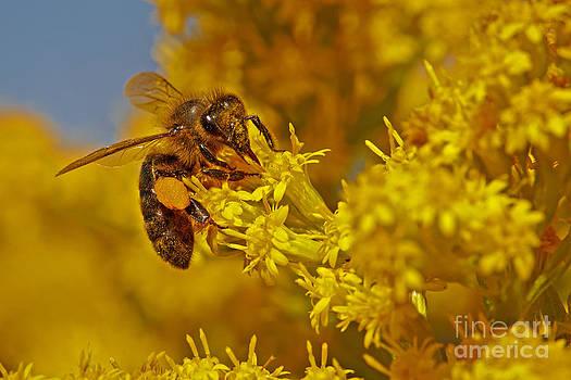 Nick  Biemans - Bee on a yellow flower