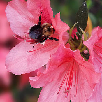 Bee on Azaleas by Dawn  Gagnon