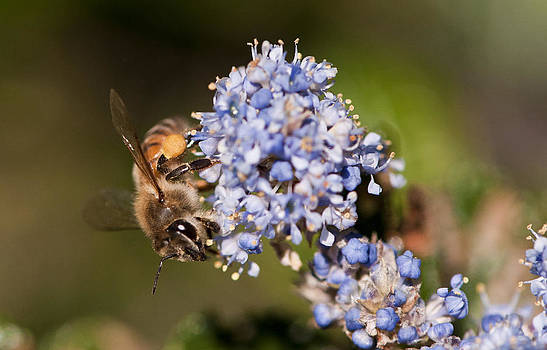 Bee On Blue Flower by Floyd Raymer