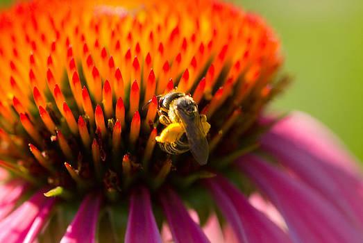 Devinder Sangha - Bee on cone flower