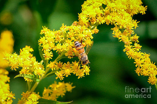 Bee on Golden Rod by Rebecca Brooks