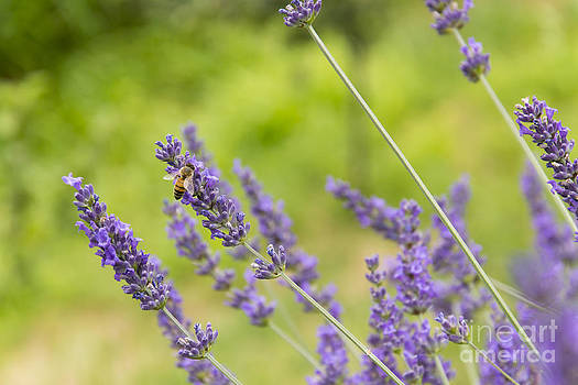 Bee on lavander by Stefano Piccini