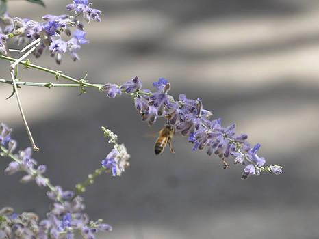 Bee on Lavender by John Moody