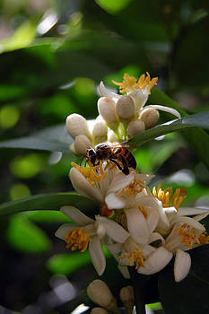 Bee on lemon flower by George Olney