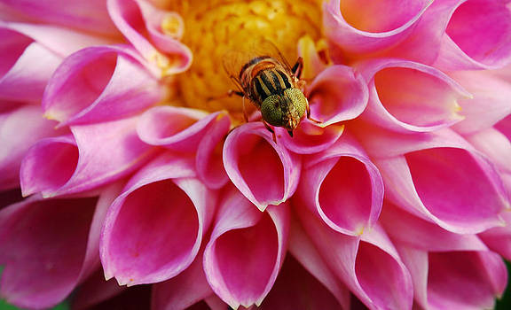 Bee on pink flower by Amit Rawal