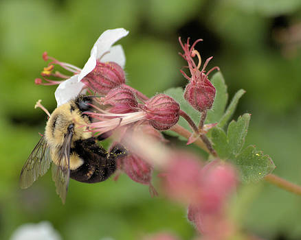 Bee on Pink Flower by Andrew Miles