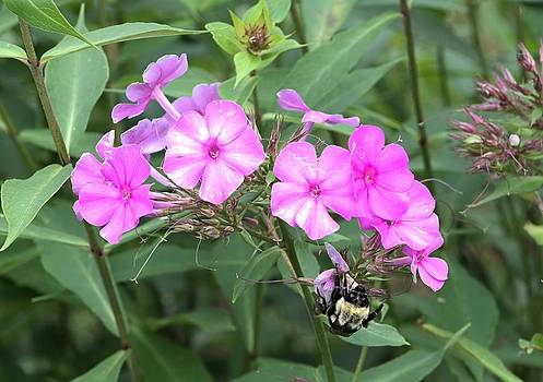 Bee on Pink Phlox by Andrew Miles