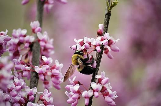 Bee on Redbud 2 by David Earl Johnson