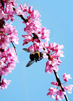 Bee on Redbud by Dawn  Gagnon