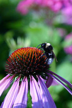 Bee on Rudbeckia by Gillian Dernie
