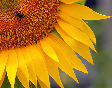 Bee On Sunflower by Old Pueblo Photography