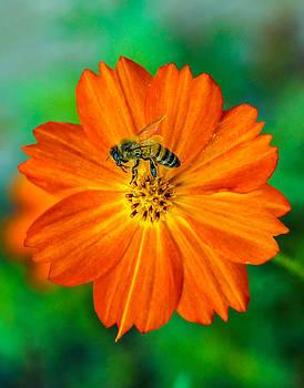 Randy Straka - Bee On The Orange Cosmos 2