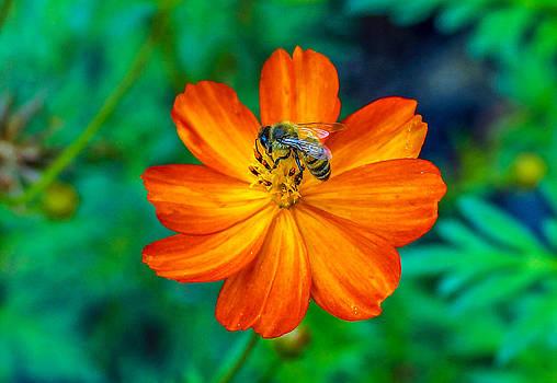 Randy Straka - Bee On The Orange Cosmos