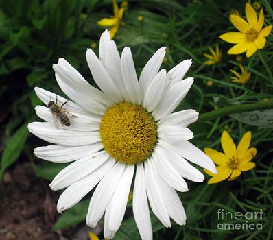 Ellen Miffitt - Bee Resting on a Shasta Daisy