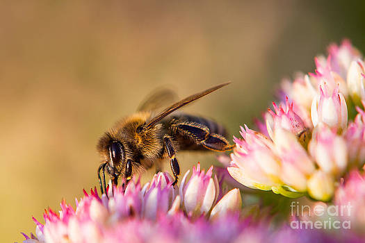 Bee Sitting on Flower by John Wadleigh