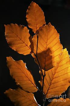 Beech Leaves in Autumn by Daniela White