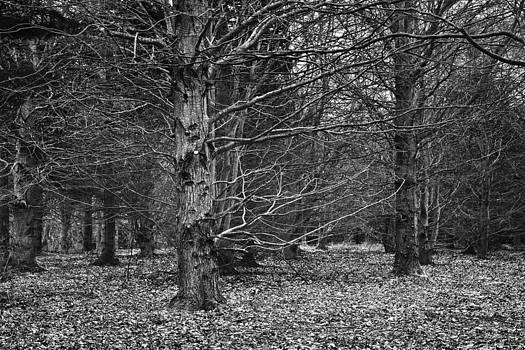 Jane McIlroy - Beech Wood in Winter