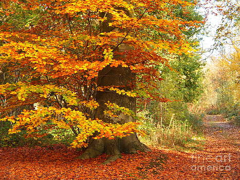 Beech Woodland in Autumn by Elizabeth Debenham