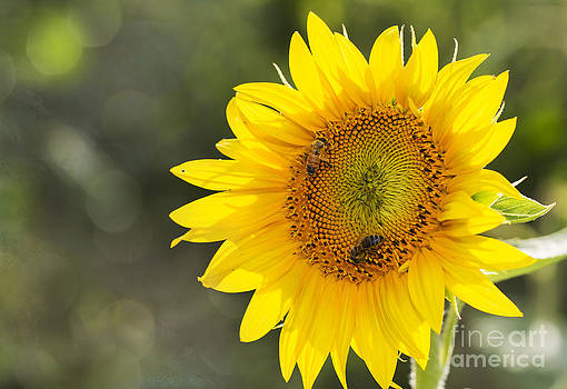 Bees and the Sunflower by Joenne Hartley