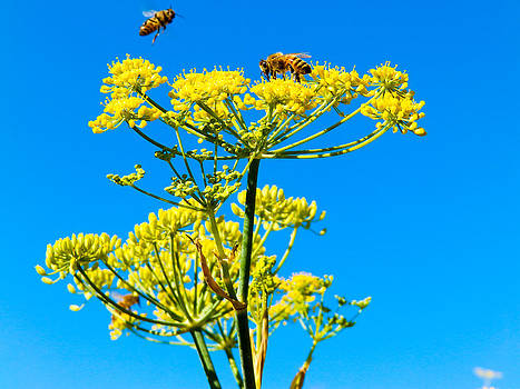Bees on Yellow Fennel by G Matthew Laughton