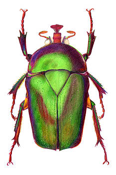 Beetle by Elizabeth Smith