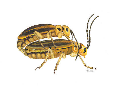 Chrysomelid beetle mating pose by Cindy Hitchcock