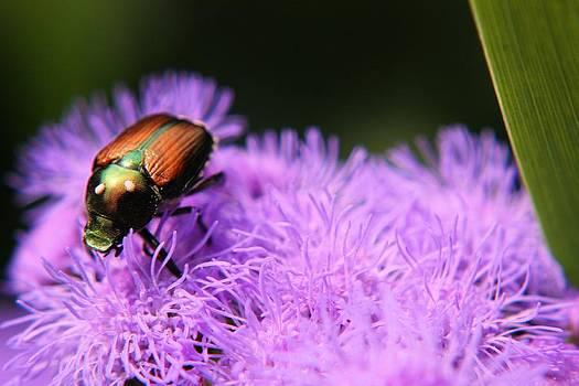 Beetle on a Flower by Jillian Gomez