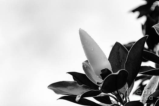 Before the Magnolia Blooms by Mary Licanin
